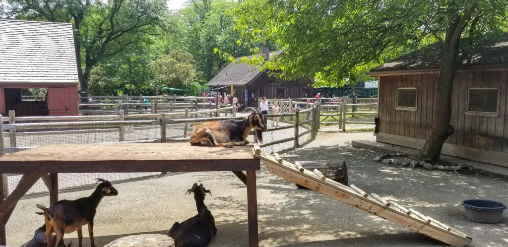 goats at the bergen county zoo zoos in nj