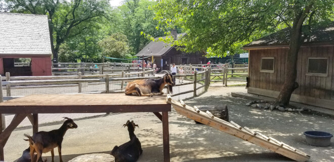 goats on a wooden structure at the bergen county zoo