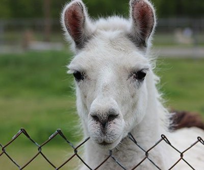a llama from Space farms zoo in NJ