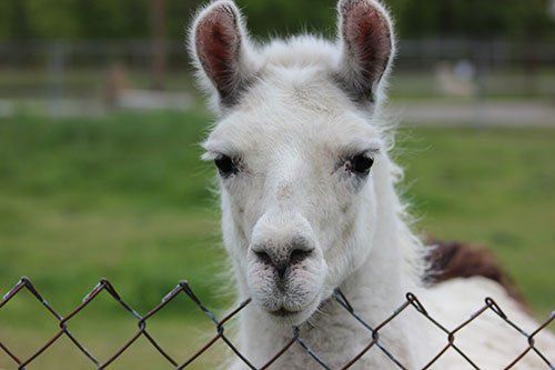a photo of a white llama looking over a fence at space farms in sussex county