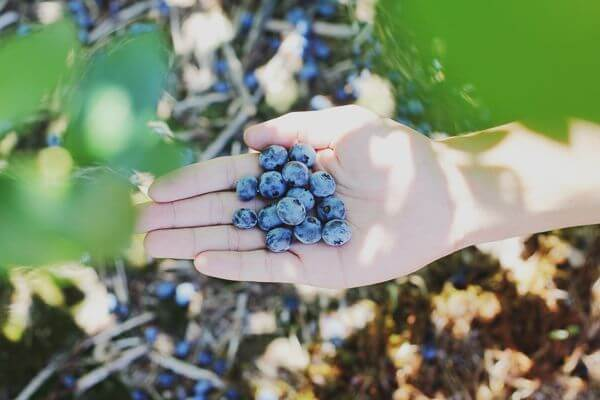 a hand holding a palm full of fresh blueberries from a blueberry farm in NJ with more plants in the background