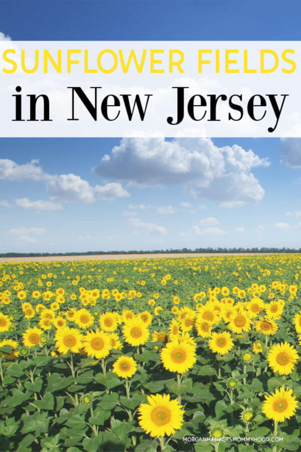 image of a large sunflower farm in NJ with with a bright blue sky and white clouds with text sunflower fields in new jersey on the image